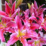 Lilie – skąd pochodzą, jak je sadzić i pielęgnować